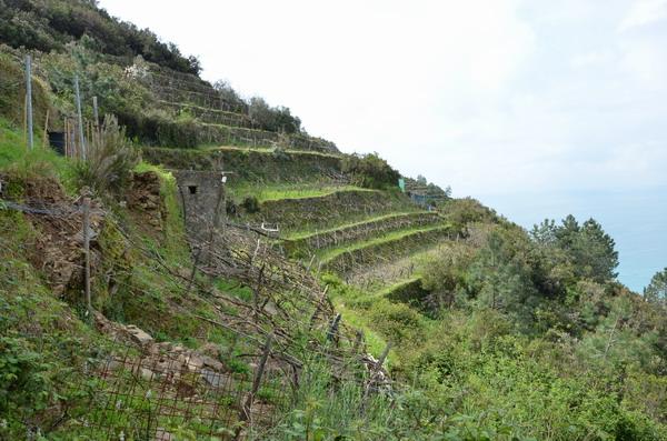 Манаролы - виноградники