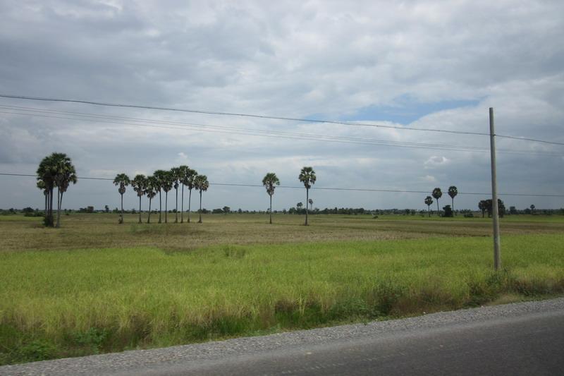 Камбоджа, сахарные пальмы