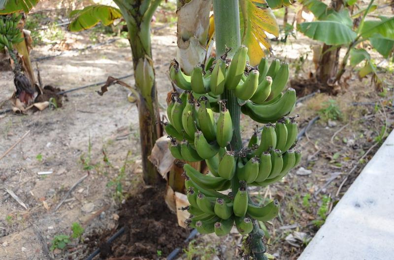 Созревающие бананы