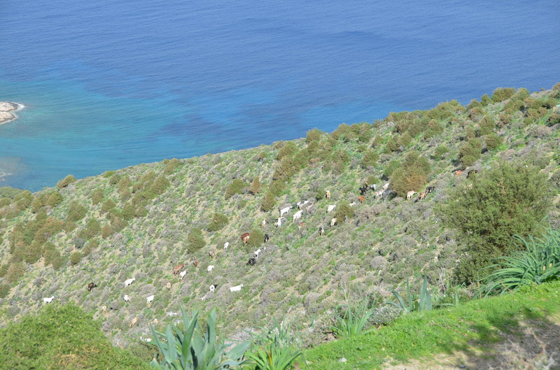 Козы на горном склоне