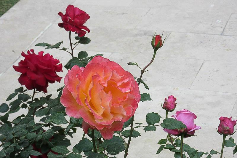 Розы турецкие