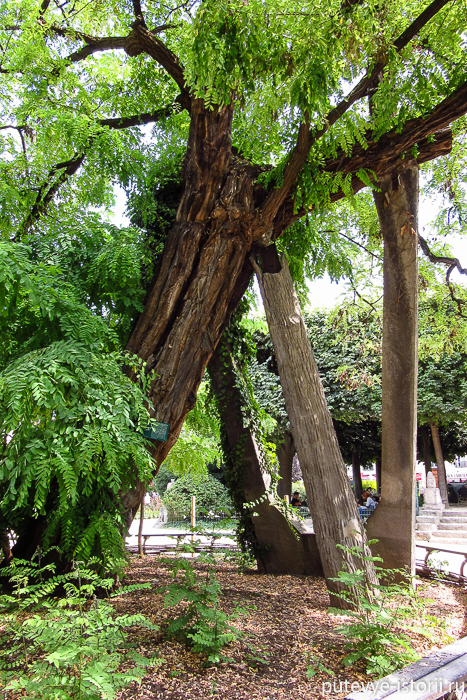 париж самое старое дерево