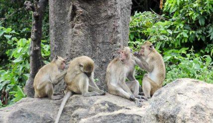 Тхао Такиап, Гора обезьян в Хуахине