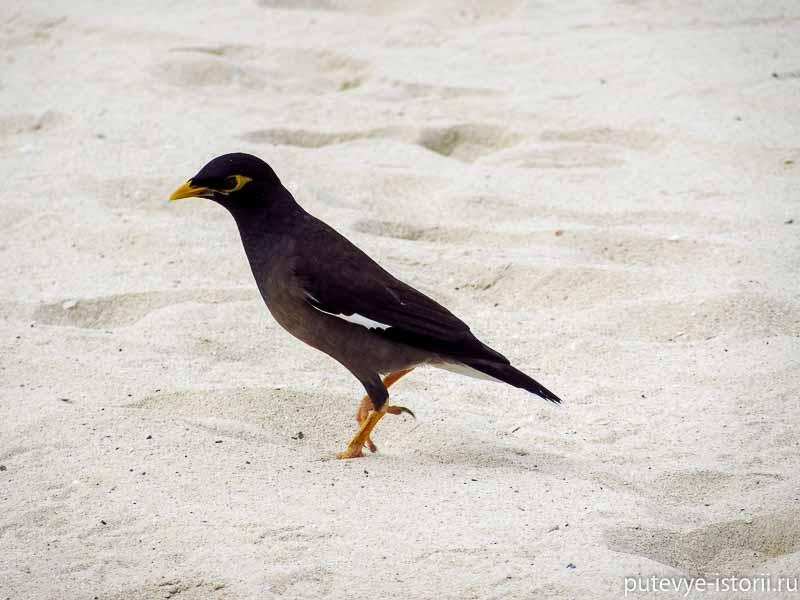 скворец майна на дубайском пляже