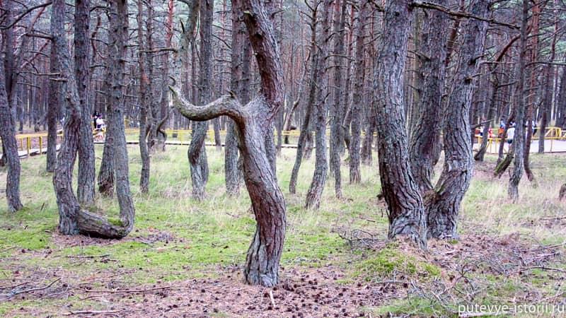 куршская коса танцующий лес фото