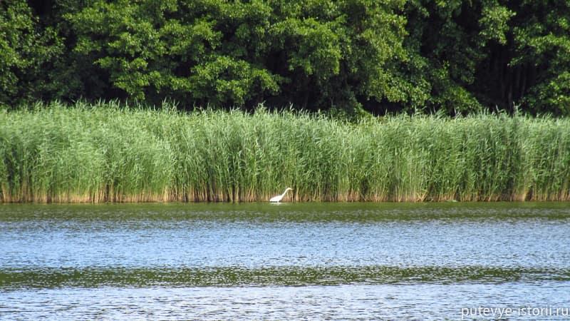 куршская коса озеро чайка